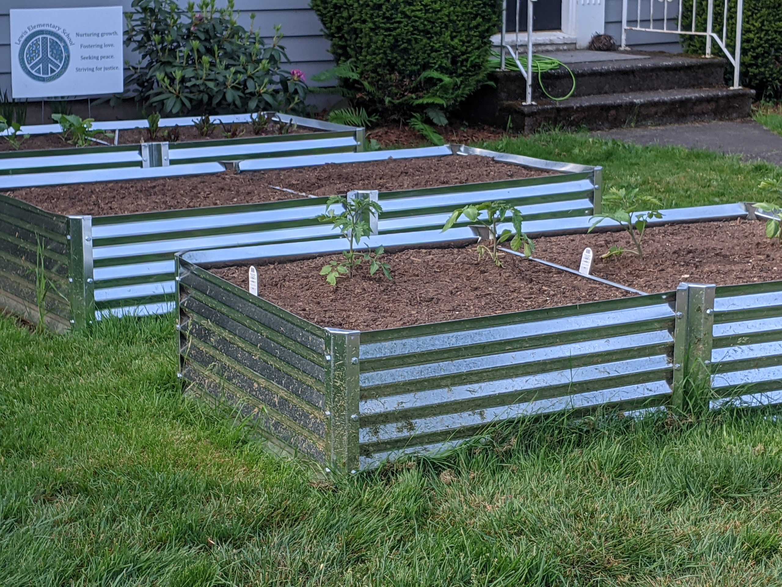 corrugated metal planting beds in grass with tomatoes
